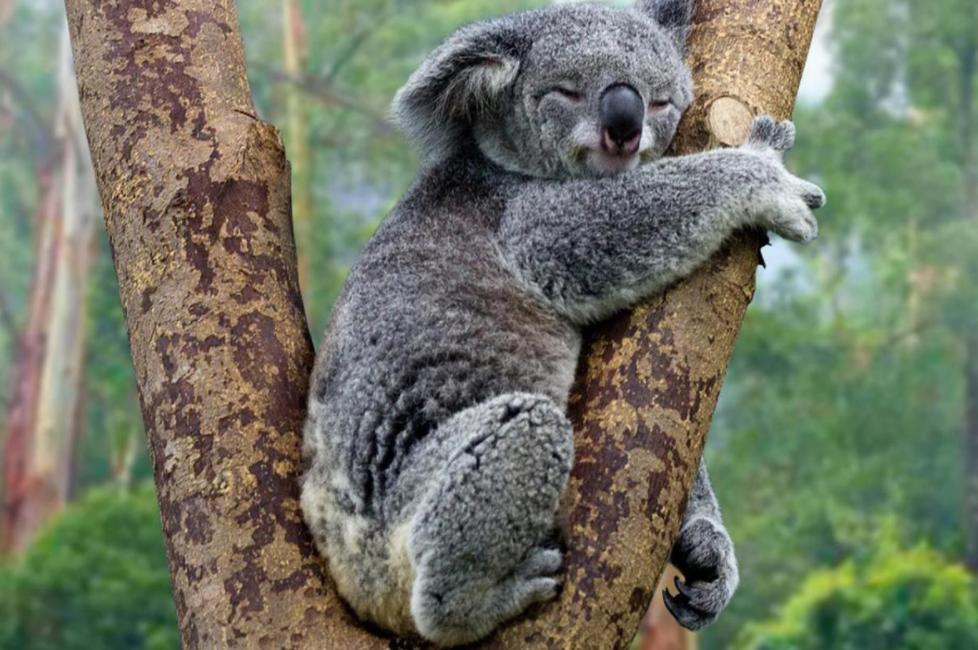 Arti Mimpi Koala